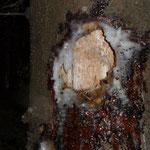 Frische Spuren, denn das Harz ist noch sehr weich und nicht verschmutzt.