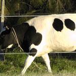 Nachbars süsse Kuh
