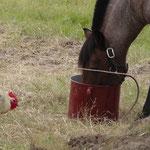 Chico beim Hafer schlemmen (Leckerli) und Nachbars Gockel