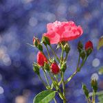 Rose in blau - Foto: Gerd Jürgen Hanebeck