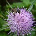 ハチジョウアザミ