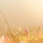 Krokusse im Morgenlicht