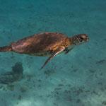 turtles around Curacao, Carribean