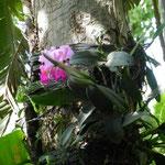 orchidee sugli alberi