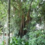 alberi di ficus