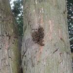 境内の杉の木に巣を作るミツバチ