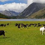 Ziegenherde bei Isola am Silsersee