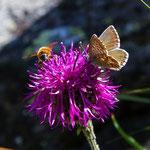 Hummel und Schmetterling auf einer Flockenblume