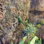 Gefleckter Martinique Anolis Weibchen