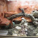 Leopardleguan Terrarium