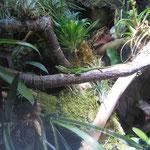 Gefleckter Martinique Anolis Männchen