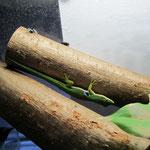 Pfauenaugentaggecko