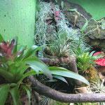 Gefleckter Martinique Anolis Tarrarium