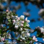 Apfelbaum in der Nähe des Schlossteiches  - 17.04.2014 - (c) Egon  Fischer