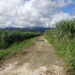 Guadeloupe Sugar Cane.