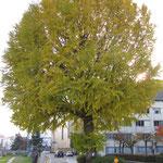 本部から2分のいちょうの木