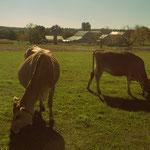 endlich mal glückliche Kühe!!