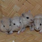 Aerys et ses soeurs à quelques semaines