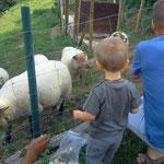 Sidobre - Tarn - Hameau des Gîtes de Thouy - Occitanie - moutons