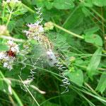 Zebraspinne mit Netz, 2014, Foto: U. Postler