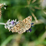 14. Malven-Dickkopffalter auf Lavendel, Juli 2014
