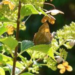 Nierenfleck-Zipfelfalter (Weibchen) ruhend, September 2014
