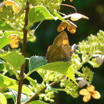 26. Nierenfleck-Zipfelfalter (Weibchen) ruhend, September 2014
