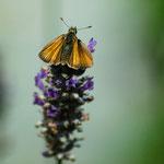 Schwarzkolbiger Braundickkopffalter auf Lavendel, Juli 2014
