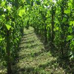 vigne en début d'été