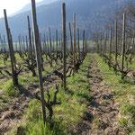 on griffe la terre dans certaines vignes