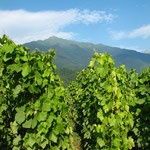 vignes en été avec le massif du grand Arc
