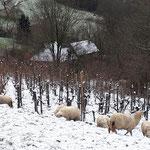 les brebis sous la neige