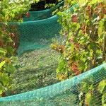 on pose des filets pour protéger les raisins des merles gourmands