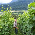 les vignes poussent, il faut les attacher et écimer
