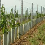Junger Weingarten mit Wildschutz (wird über jede Rebe händisch gestülpt)
