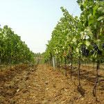 Weingarten mit offener Bodenbearbeitung (lehmiger Schotterboden)