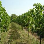 begrünter Weingarten