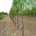 Weingarten mit offener Bodenbearbeitung (Schotterboden)
