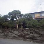 移植する松の木