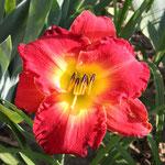 Taglilie - Forever Redeemed