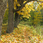 Кленовая аллея на берегу паркового пруда