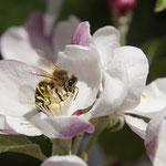 Apis mellifera (Buckfast Bee)
