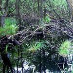Darß: Nasswald (1 – 2 m über dem Meeresspiegel!) ...