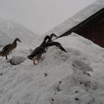 die Enten suchen den Teich vergeblich