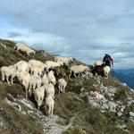 ....und allen Schafe folgten ihm