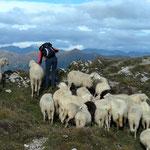 Hans lockte die Schafe mit Salz und Getreide an....