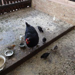 """Es gibt """"Nachwuchs"""" bei Hühner"""