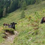 """Kühe """"blockierten"""" den Steig zur Schimanberger Alm"""