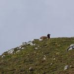erstes Schaf in Sicht...