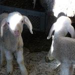 Nachwuchs bei den Schafen